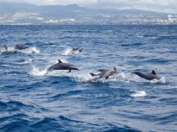 dauphins martinique